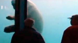 Polar Bear Breaks Window