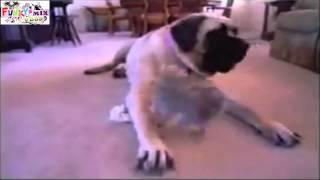 CRAZY!! Husky Cute Dog and Puppy Playing Too Cute