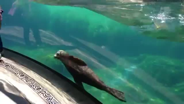 Little Girl and Sea Lion play tag. Sea Lion worried about Little Girl (ORIGINAL VIDEO)
