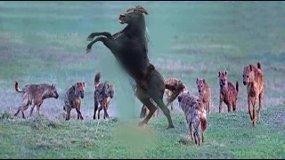 Hyenas Group Trying to Prey on Wild Horse Black - Group Of Hyenas vs Horse