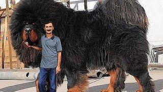 MONSTER DOG - GIANT DOG - BIGGEST DOG ON EARTH - Chop Busters