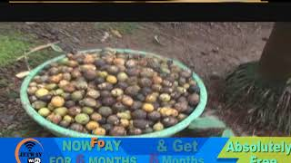 Beetle Nut Plantation Damaged Due To Insects At Betki