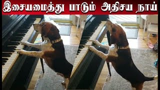 இசையமைத்து பாடும் அதிசய நாய் | Amazing dog to sing and sing