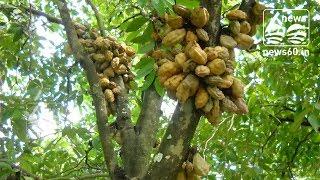 Nam Nam(Cynometra cauliflora) is an edible fruit tree native to Malaysia