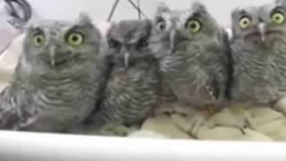 New Cute owl Funny videos that will make you laugh so hard you cry - funny videos 2015
