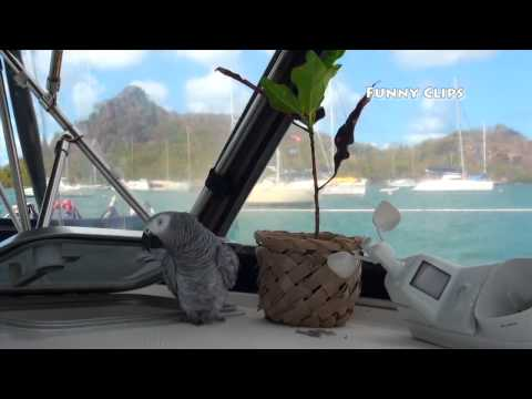 FUNNIEST Parrot Ever    Meet Our Grey Parrot  Lucky  Living on a Sailboat in the Caribbean!