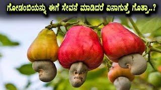 Amazing benefits of Cashew Fruit | Health Kannada Videos | Top Kannada TV