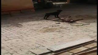 केयर टेकर को कुत्ते द्वारा नोच खाने वाला वीडियो वायरल