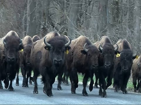 Raw- Buffaloes Shot After Crossing NY Highway News Video