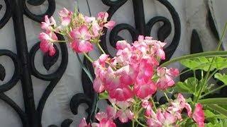 फूलों की खुशबू से महका रिज मैदान, सैलानियों के आकर्षण का केंद्र बनी प्रदर्शनी