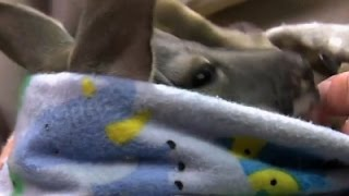 Zookeeper Acts As Mom To Orphaned Kangaroo