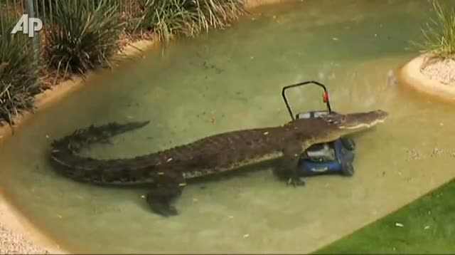 Croc Takes Bite Out of Lawn Mower