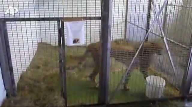 Cheetah Seized at a London Airport