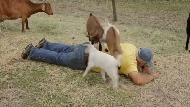 Goat Massage Funny Video