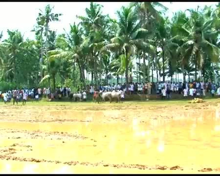 Famous bull race of Kerala thrills audiences