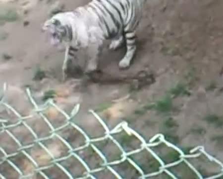 Live fight! King Cobra vs White Tiger