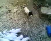 Scary Masked Sheep