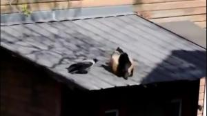 Crow starts fight between two cats