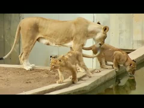 Mom accidentally knocks lion cub into water