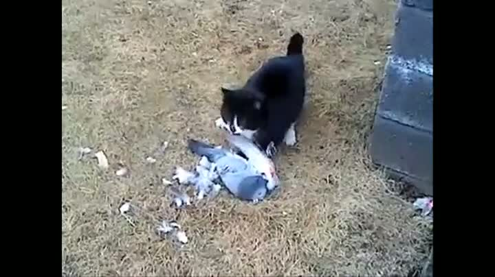 Pigeon Plays Cat For a Fool