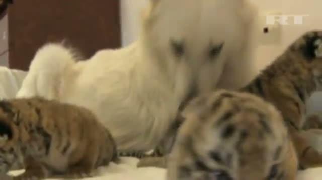 Raw: Tiger Cubs Nursed by Dog