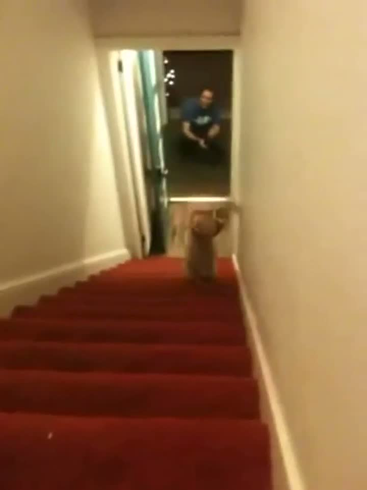 Dog Wearing Pants Does Handstand Down Stairs