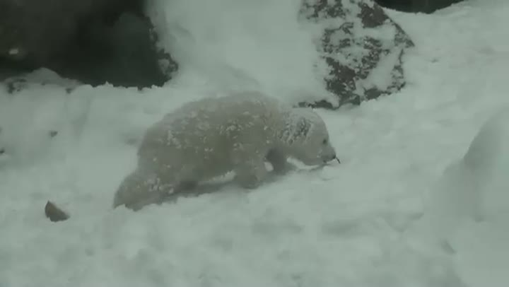 Polar Bear Cubs First Day In The Snow