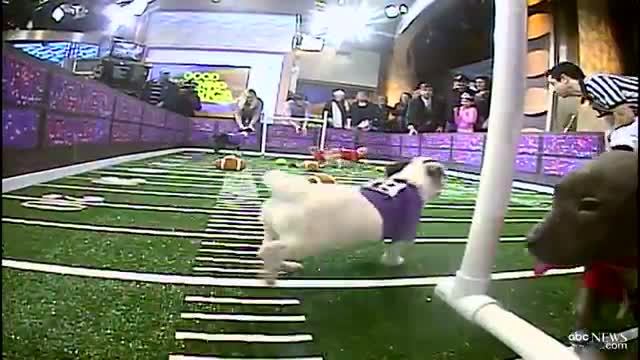 Super Bowl 2013 Inspires Puppy Bowl: Sneak Peek at Doggie Football Event
