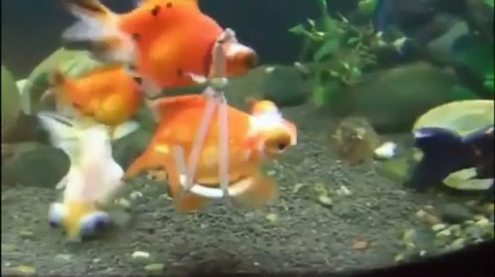 "Disabled Goldfish Gets An ""Aquatic Wheelchair"""