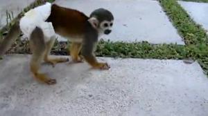 Baby Monkey Goes Into Attack Mode