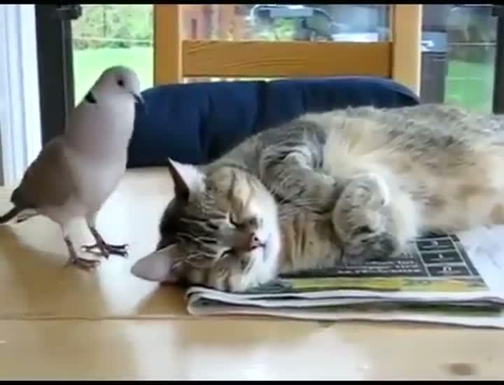 Dove Interupts Cat Nap