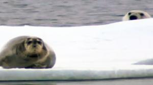 The Formidable Ninja Polar Bear