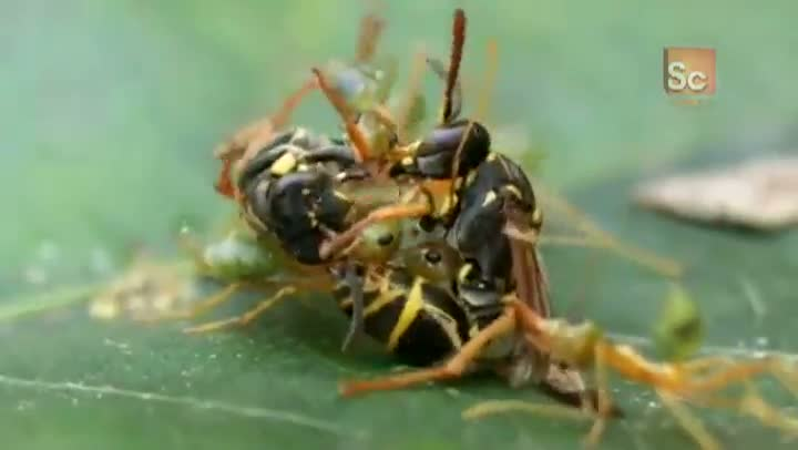 Green Ants vs. Paper Wasps