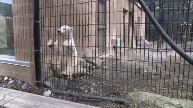 Polar Bear Cub Prepares for New Home in New York