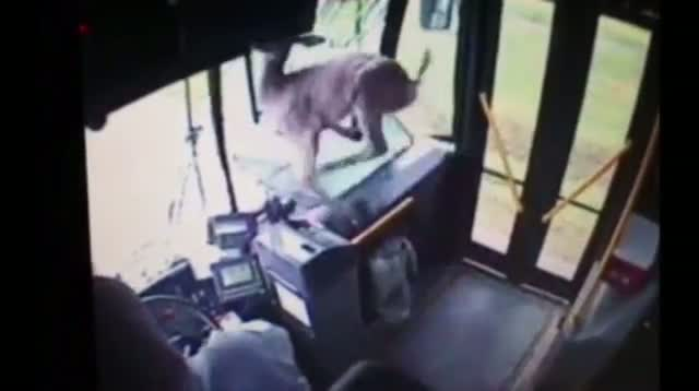 Oh Deer! Bus Gets Surprise Passenger