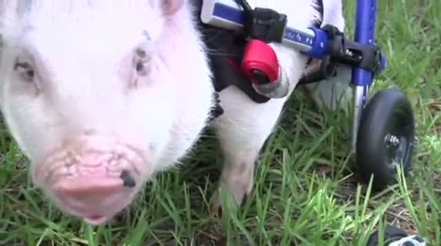 Meet Chris P. Bacon: The Wheelchair Pig