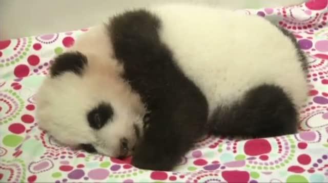 Twin Giant Panda Cubs in Atlanta Are Named