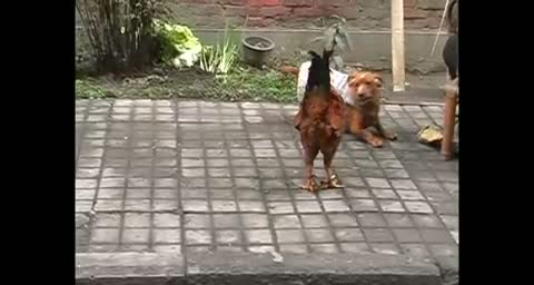 A cock vs a fat dog funny animal  fight