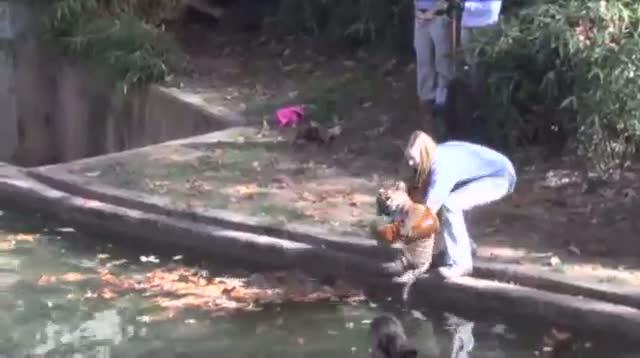Tiger Cubs Pass Swim Tests at National Zoo