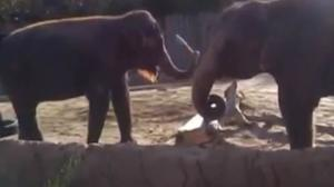 Elephant Vs. Stick - Elephant REALLY wants to break this stick