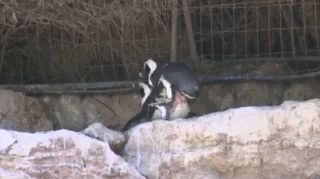 Rare Female Penguin Couple at Israeli Zoo