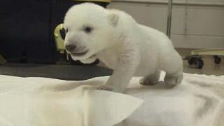 Watch This Baby Polar Bear's First Steps - Cubs First Steps