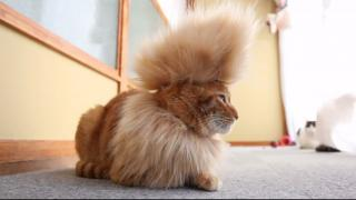 Chill Mohawk Cat Is Chill