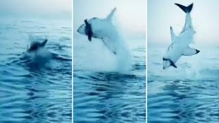 High Velocity Attack Of A Great White Shark