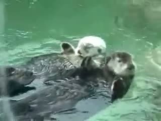 Otters Holding Hands (Pet Video)