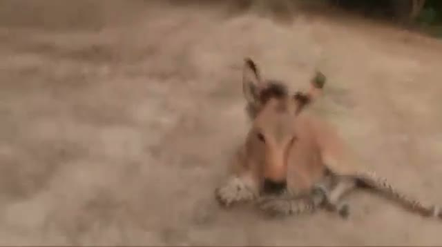 Raw: Rare Baby Zonkey Born in Mexico Zoo