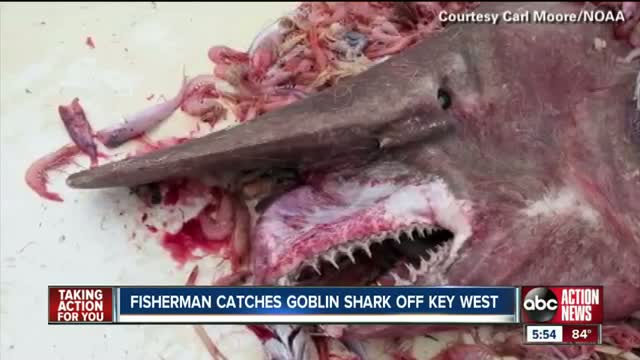 Goblin shark caught off Key West