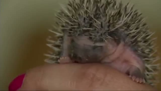 Prickly Pocket Pets Gaining Popularity - VIDEO