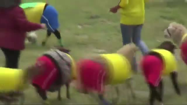 Sheep 'Play' Soccer in Colombia