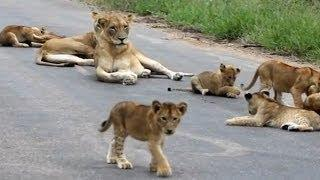 Lion Pride Including Playing Cubs - Seen Today! - Latest Wildlife Sightings